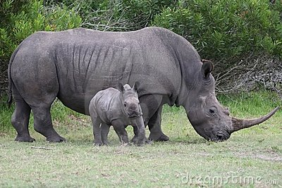 Baby Rhino with Adult