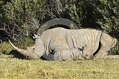 Baby Rhino in African bush