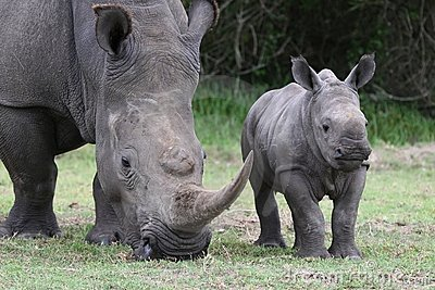 Baby Rhino and Mother