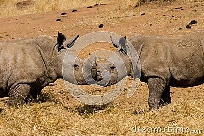Baby rhinoceros kiss