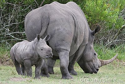 Baby Rhinoceros and Mom