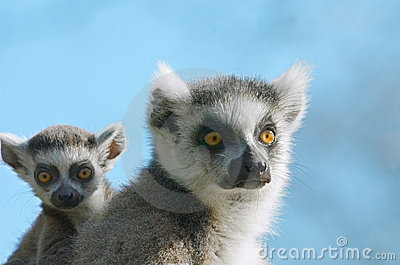 Baby ring-tailed lemur on moth