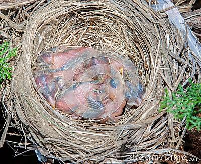 Baby robins.