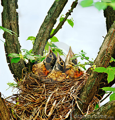 Free Baby Robins In A Nest Stock Image - 5554201