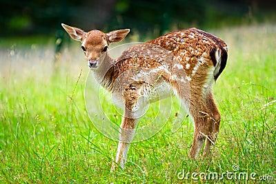 Baby roe deer