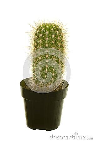 Baby Saguaro Cactus Royalty Free Stock Images Image