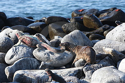 Baby sea lion bites marine iguana on Galapagos