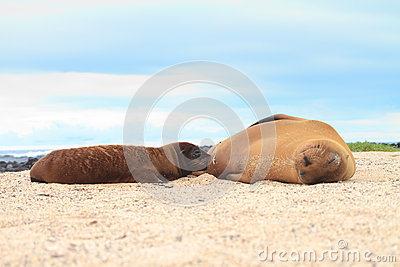 Baby Sea Lion breast feeding with mother