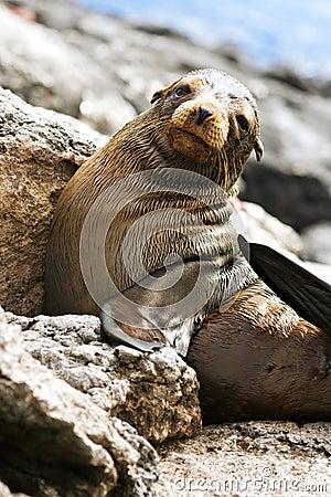 Baby Sea Lion, Galapagos