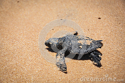 Baby sea turtle struggles to reach the sea at Praia do Forte, Ba