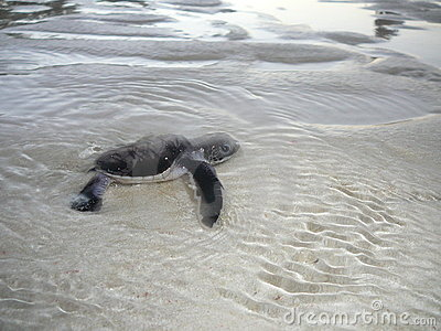 Baby sea turtle in the water
