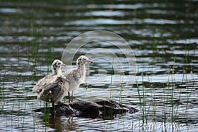 Baby seagulls