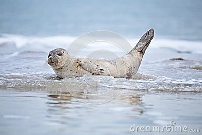 Baby seal in the water