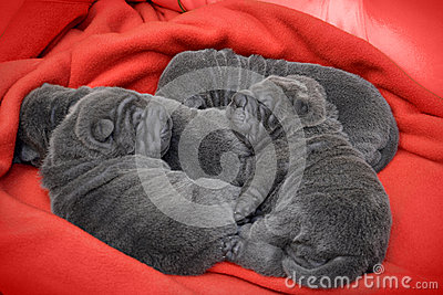 Baby sharpei puppies Sleeping
