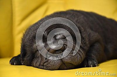 Baby sharpei puppy Sleeping