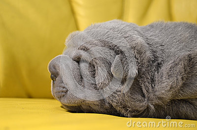 Baby sharpei puppy Sleeping