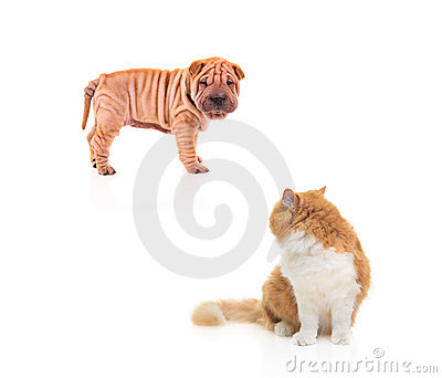 Baby sharpei staring at a cat