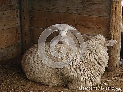 Baby sheep climbing mother