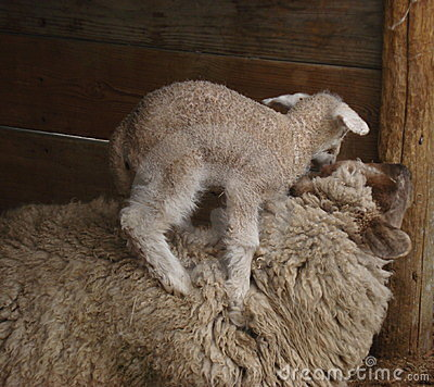 Baby sheep climbing mother