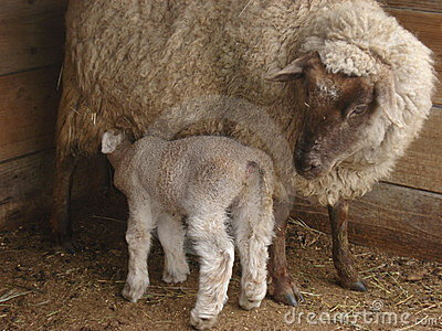 Baby sheep nursing