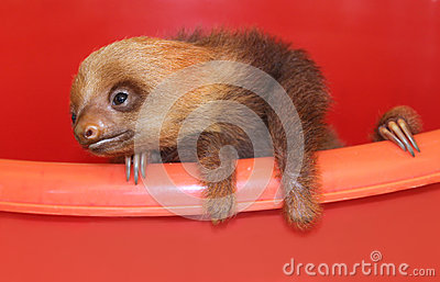 Baby sloth in an animal sanctuary, Costa Rica