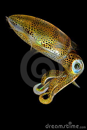 Free Baby Squid III Royalty Free Stock Photography - 7792017