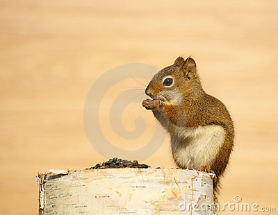 Baby squirrel eating seeds on a log.