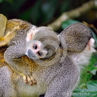 Baby Squirrel Monkey Stock Photo