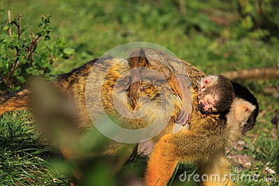 Baby squirrel monkey sleeping