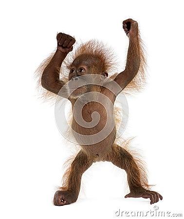 Free Baby Sumatran Orangutan Against White Background Stock Images - 11786334