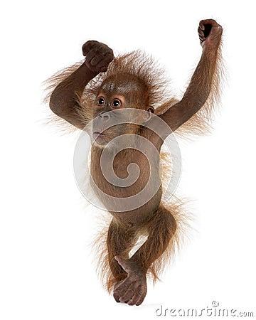 Free Baby Sumatran Orangutan Against White Background Royalty Free Stock Image - 11786356