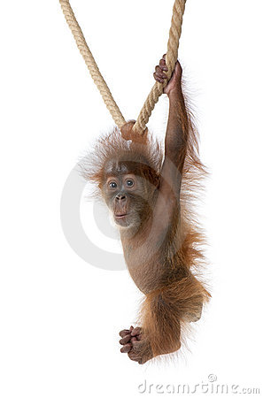 Free Baby Sumatran Orangutan Hanging On Rope Stock Photo - 11786400