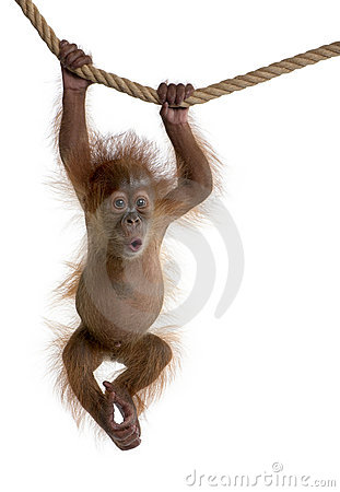 Baby Sumatran Orangutan hanging on rope