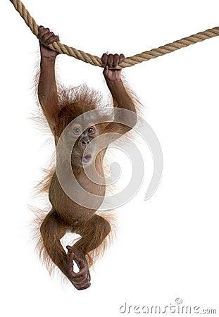Baby Sumatran Orangutan hanging on rope