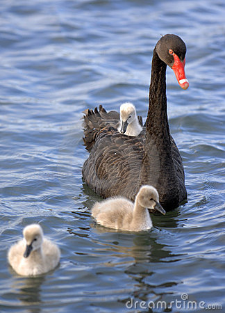 Baby swan chick 02