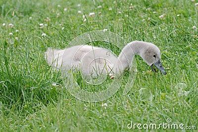 Baby swan feeding in the grass