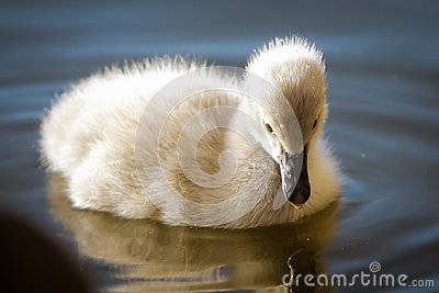 Baby swan on the water