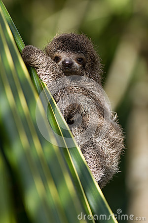 Baby three-toed sloth