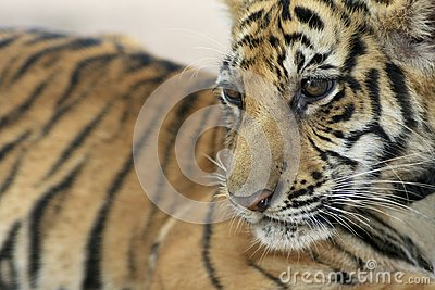 Baby Tiger Royalty Free Stock Images - Image: 17551659