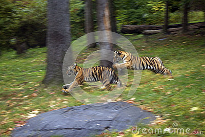 Baby tigers playing