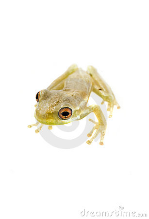 Free Baby Tree Frog 09-02 Royalty Free Stock Images - 10798649