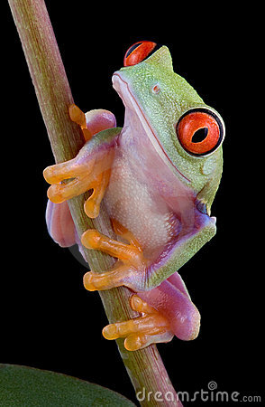 Baby tree frog on stem