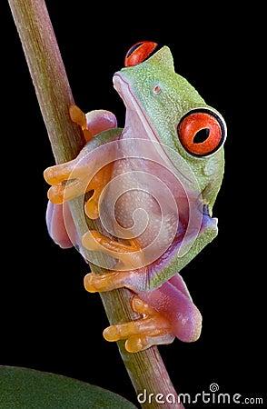 Baby tree frog on stem