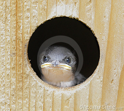 Free Baby Tree Swallow (tachycineta Bicolor) Stock Image - 5527801