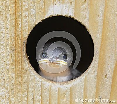 Baby Tree Swallow (tachycineta bicolor)