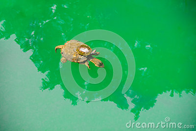 A Baby turtle ride on a mother  s back in green sea water