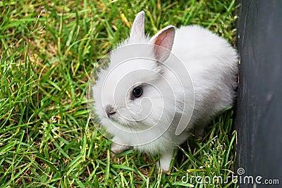 Baby white bunny rabbit