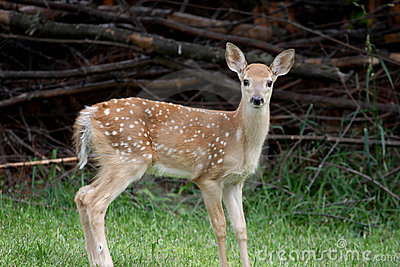Baby White-tailed Deer Royalty Free Stock Image - Image ... - photo#3