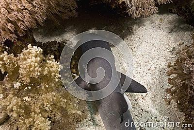 Baby whitetip reef shark (triaenodon obesus)
