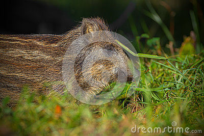 Baby wild boar in summer grass